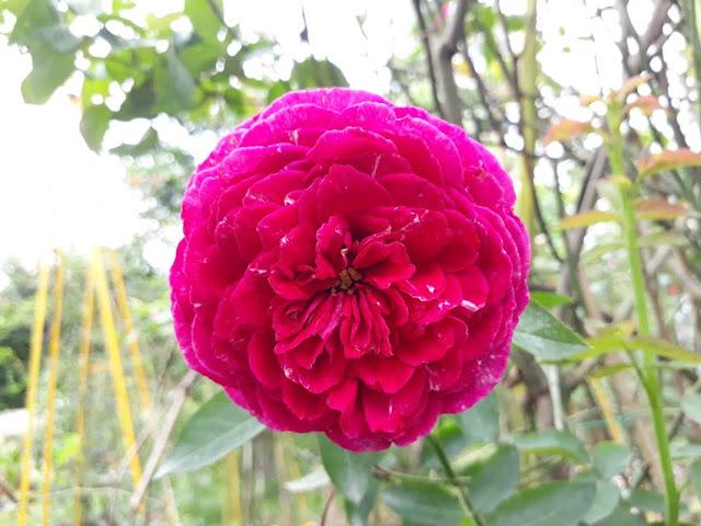 hoa hồng leo falstaff rose