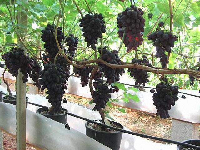 http://tipspetani.blogspot.com/2017/10/panduan-menanam-anggur-di-media-polybag.html
