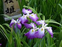 山田池公園・花しょうぶ園 長井古種 小桜姫