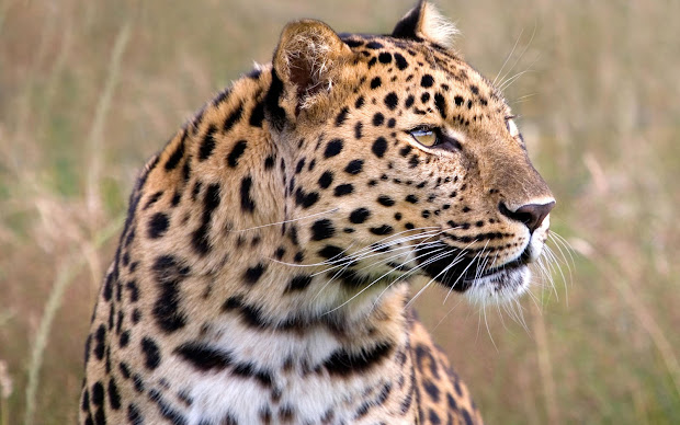Wildlife Amur Leopard Dangerous Animal
