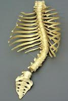 tulang rusuk pria - informasi wanita - informaside.com