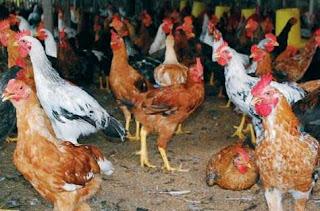 Beternak ayam petelur atau ayam pedaging