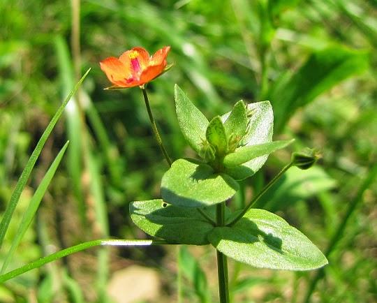 Kurzyślad polny (Anagallis arvensis L.)