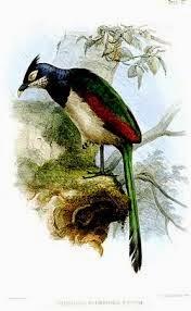 Cuco hormiguero alirufo: Neomorphus rufipennis