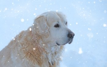 Wallpaper: Snowing on a Golden Retriever
