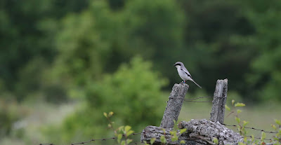 Follow-up to Banded Loggerhead Shrike Sighting in Carden