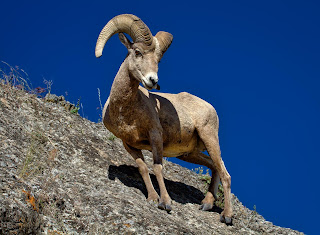 Big horn sheep on rocks