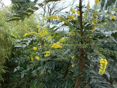 Mahonia scented winter shrub Green Fingered Blog