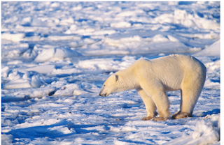 Polar Bear, Polar Bear Amazing Facts