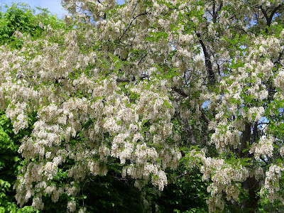 Ροβίνια ή ψευδοακακία το δέντρο που μπορεί να δώσει μέχρι 120 κιλά μέλι ανά στρέμμα