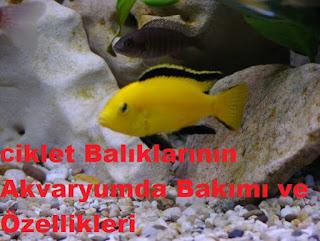 Ciklet Balıklarının Akvaryumda Bakımı ve Özellikleri