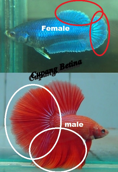 The Characteristics Of The Female Betta Fish - Betta Fish -3535