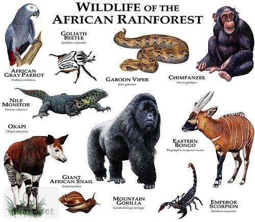Animais Selvagens das Florestas Tropicais da África