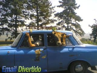email divertido fail rir lol humor transporte vacas gado carro