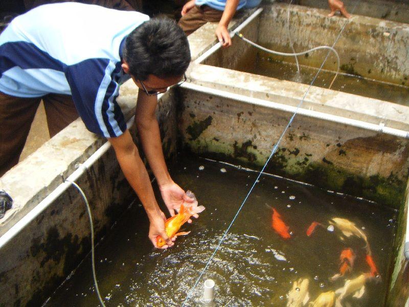 cara memelihara ikan mas di kolam rumah