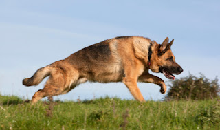 German Shepherd intelligence