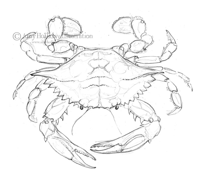 It is an image of Obsessed Blue Crab Drawing