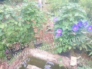tanaman rambat hias bunga ungu