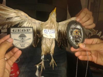 No MA, pássaro que transportava drogas para o CDP de Pedrinhas foi interceptado