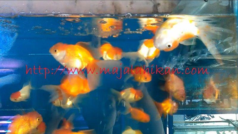 Gambar Ikan Koki Berenang Terbalik
