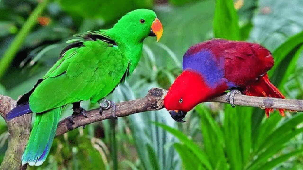 gambar burung nuri