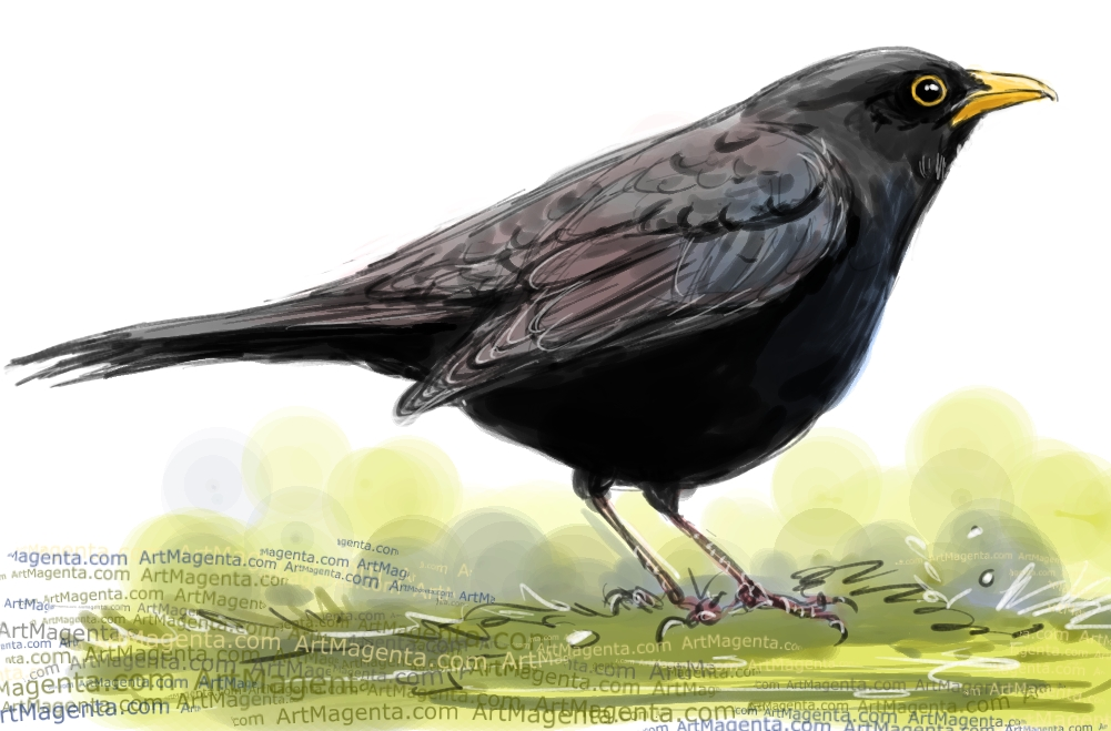 Eurasian Blackbird sketch painting. Bird art drawing by illustrator Artmagenta