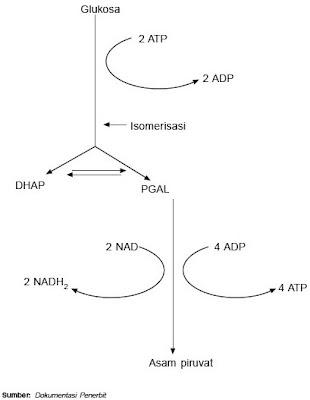 proses glikolisis glukosa asam piruvat