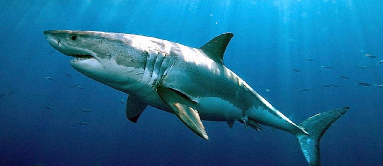 tubarão branco, ataque de tubarão, tubarão, tubarões, Shark, tubarão, mar, oceano,
