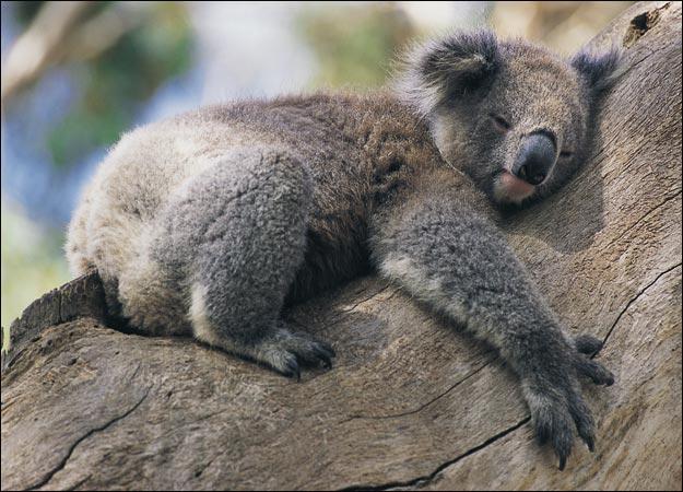 Funny Koala images |Funny Animal