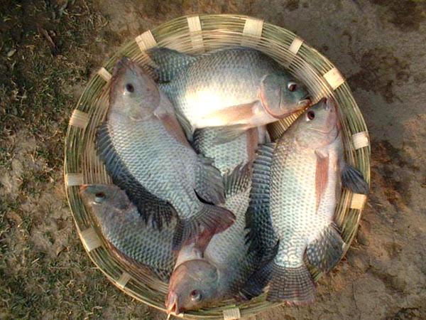 Aquarium fish farming in west bengal 1000 aquarium ideas for Pond stocking fish for sale