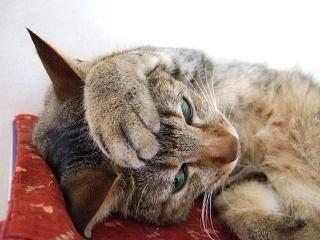 頭を抱える猫写真