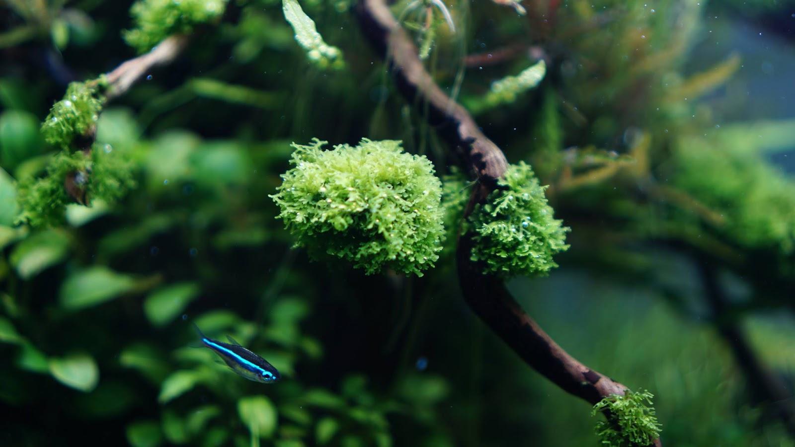 Rêu mini pelia trong hồ thủy sinh của bạn Tri Nobi