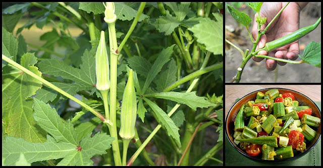Help Fight Cancer, Manage Diabetes, And Prevent Kidney Problems With Okra