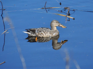 duck swimming in salt marsh waters