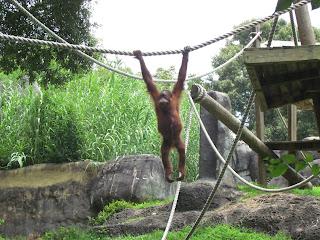 Orangutan at Zoo Atlanta