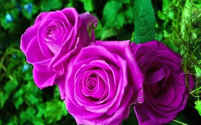bó hoa hồng tím đẹp nhất thế giới 5
