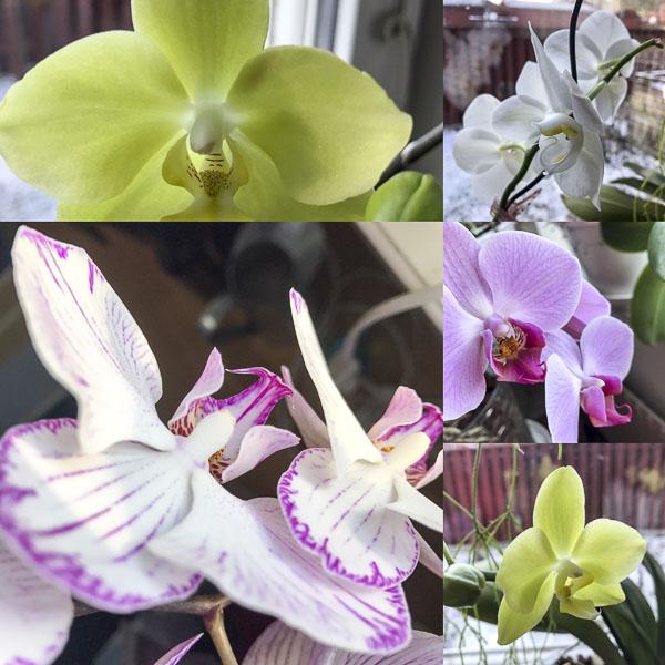 Brudorkidé phaleanopsis