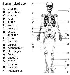 skeletal system diagram labeled detailed claye willcox athlete dev.: muscular/skeletal systems + joints skeletal system diagram games