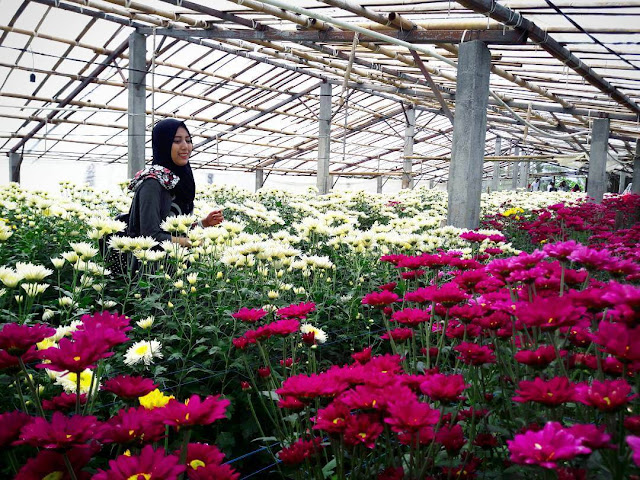 setiya aji flower farm bandungan