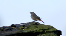 Fly Flatts Black Redstart
