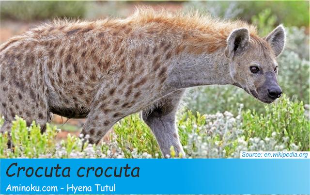 Fakta unik hyena tutul