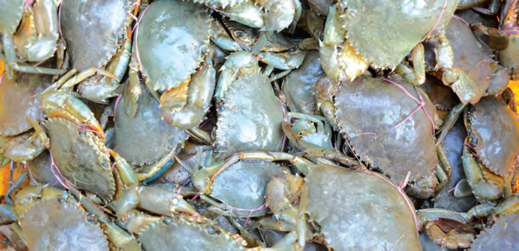The Best Mud Crab Supplier for Seafood Restaurant - Frozen Mud Crab