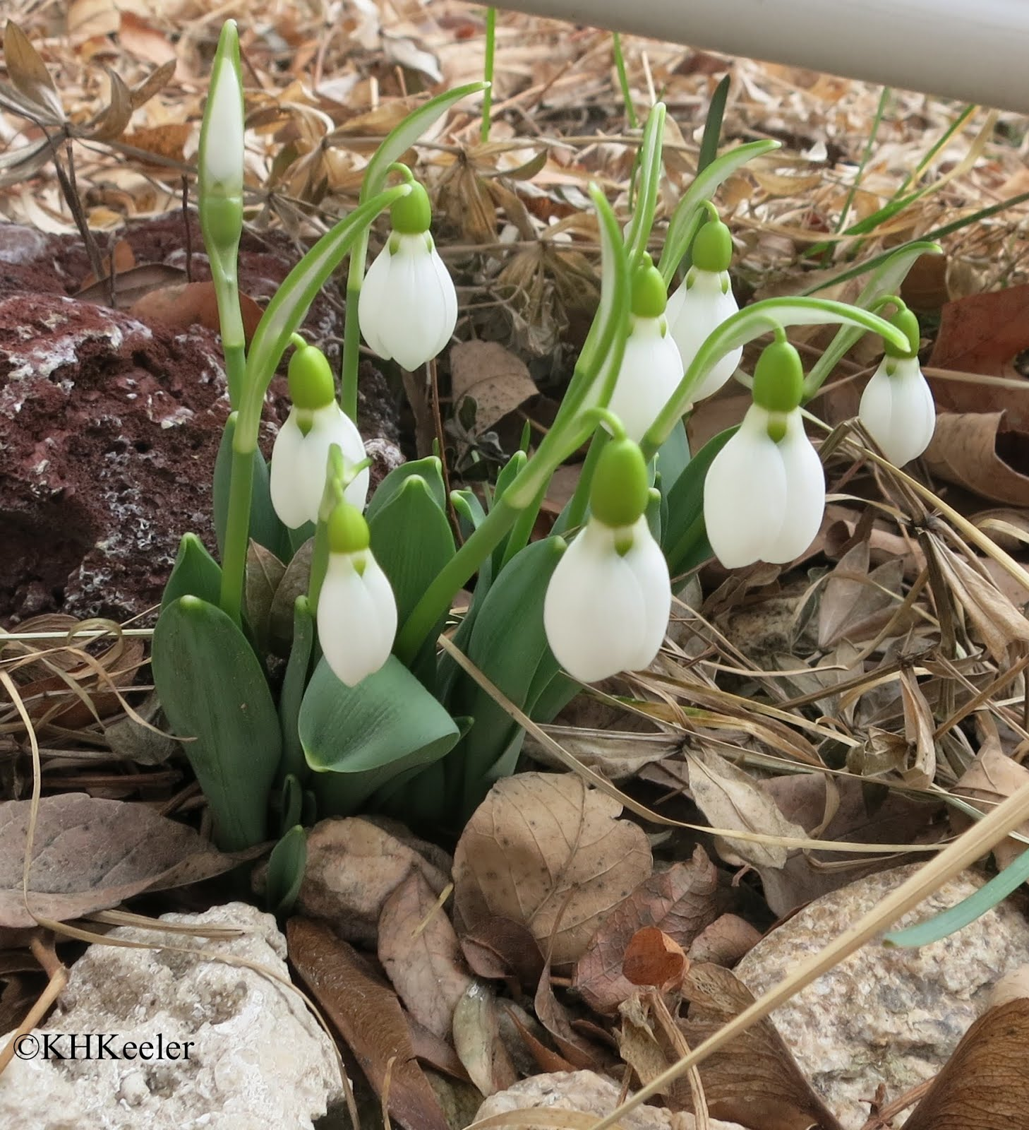 A Wandering Botanist Plant Story Snowdrops Leading The