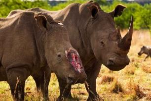 STOP AL MALTRATO ANIMAL: En el Día Mundial de Rinoceronte, lamentamos la  muerte de más de 1.200 rinocerontes cada año por furtivos