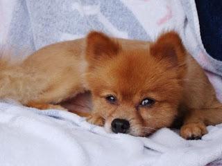 Foxx the Pomeranian