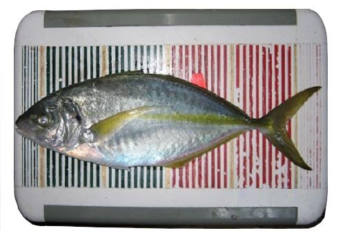 関西の船釣りで釣れる 竿とリール 南紀 シマアジ