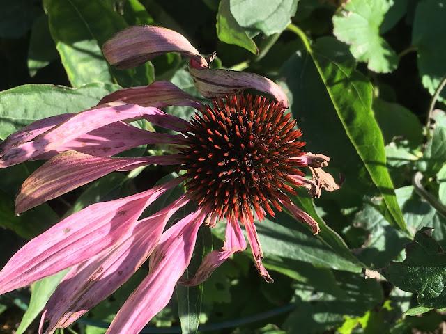 Herlig hvit og rosa purpursolhatt - Echinacea mot sen høst