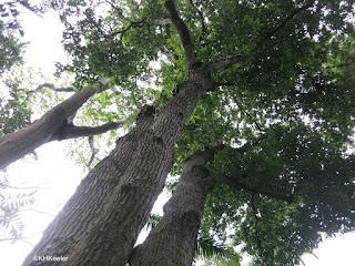 blue marble tree, Elaeocarpus persicaefolius, Honolulu