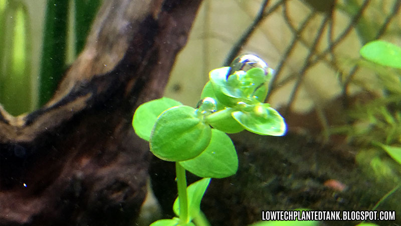 pearling bacopa
