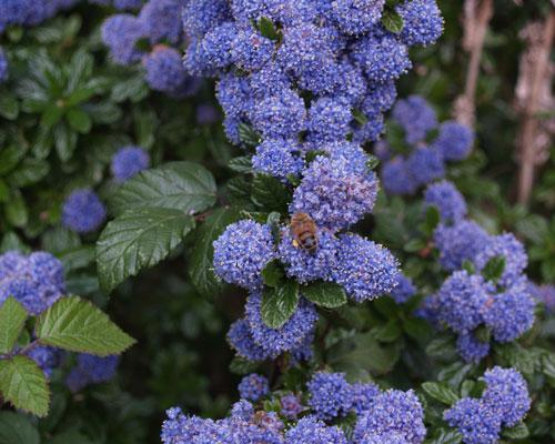 blå blomster i maj